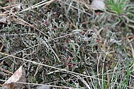 A red-fruited <i>Cladonia</i>
