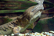 The Chinese giant salamander Andrias davidianus, the mascot of the State Natural History Museum Karlsruhe