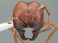 head of meat eater ant