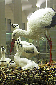 Family of white storks