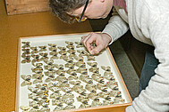 Work on the butterfly collection