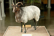 A specimen you can touch – a Heidschnucke moorland sheep