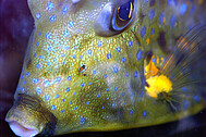 Close-up of a boxfish
