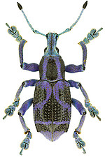 <i>Eupholus circulifer</i>, a recently discovered weevil from New Guinea