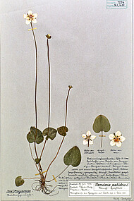 Herbarium voucher of bog-star, <i>Parnassia palustris</i>