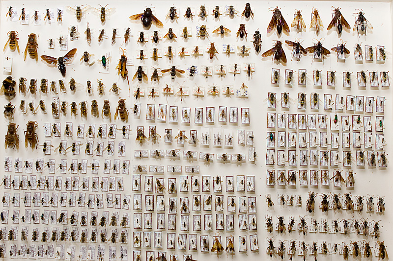 collection, Hymenoptera, ants, wasps, bees : SMNK